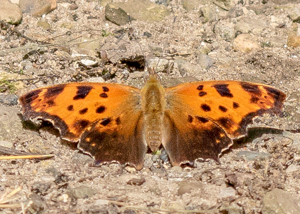 a Eastern Comma butterfly from Potato Creek State Park, North Liberty, IN