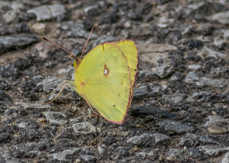a Cloudless Sulphur butterfly from the northside walk of riverside walk, South Bend, IN