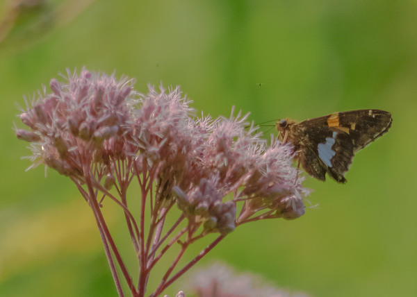 Silver-spotted Skipper at Potato Creek State Park, North Liberty, IN