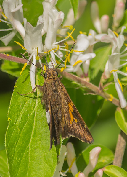 Silver-spotted Skipper at Boot lake Nature Preserve, Elkhart, IN