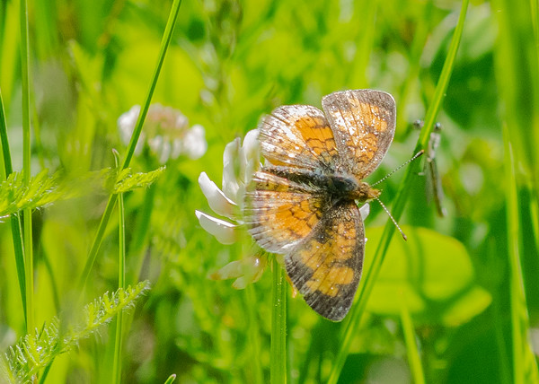 a Pearl Crescent butterfly from Boot Lake Nature Preserve, Elkhart, IN