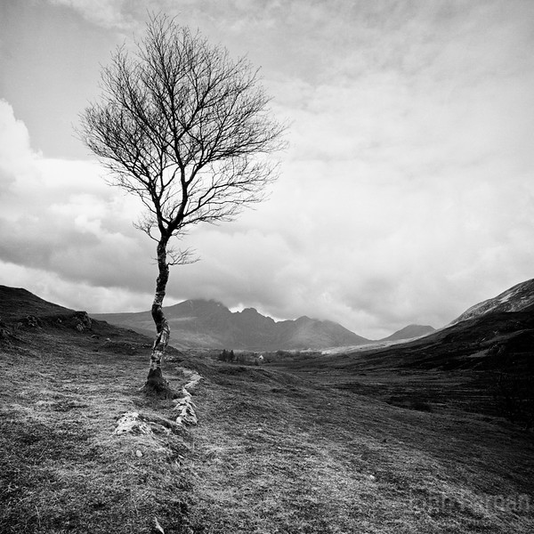 Lone tree with Cuillin in background