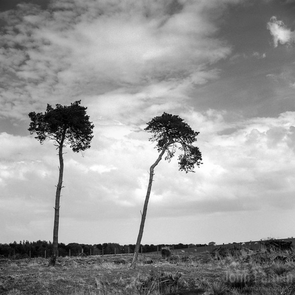 A pair of trees