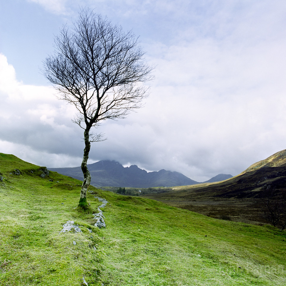 Lone Birch tree with Black Cuillin in the background
