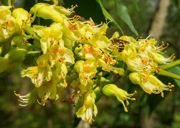 Beautiful flowers of Ohio Buckeye (Aesculus glabra) tree from Ferrettie-Baugo Creek County Park, Osceola, IN