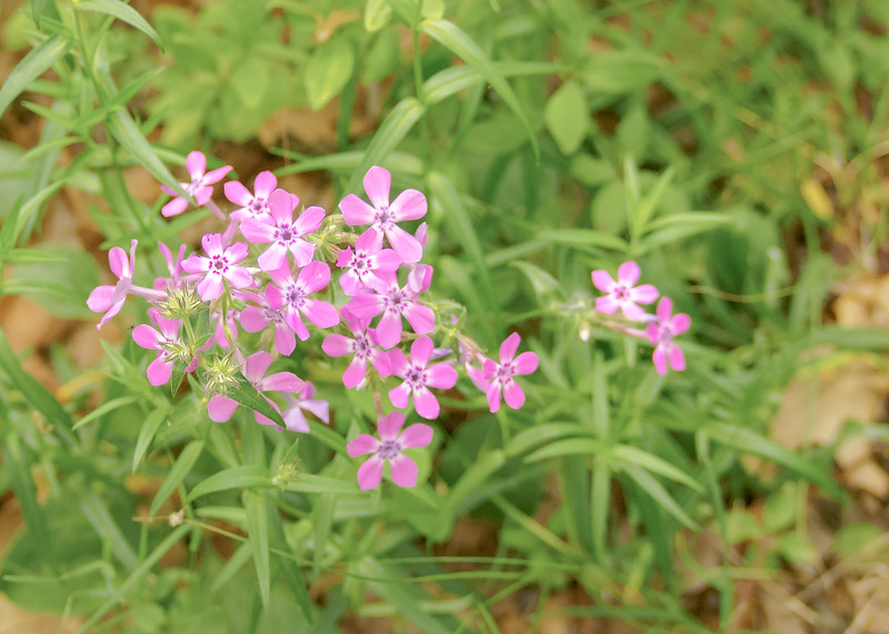 A Downy Phlox (Phlox pilosa ssp. pilosa) from Cowles Bog Trail at Indiana Dunes NP, Dunes Acres, IN