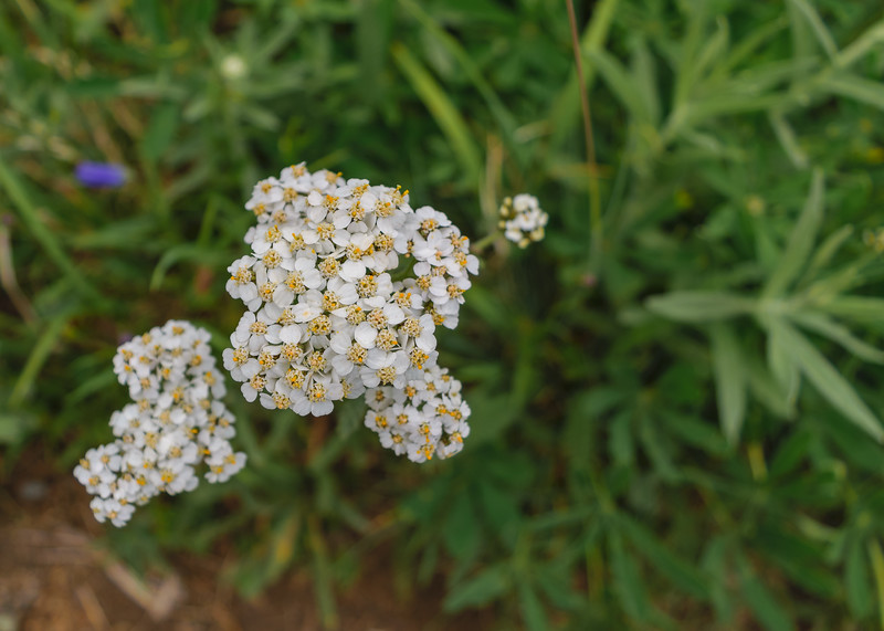 A Common Yarrow (Achillea millefolium) seen in Hurricane Ridge, Olympic National Park, Port Angeles, WA