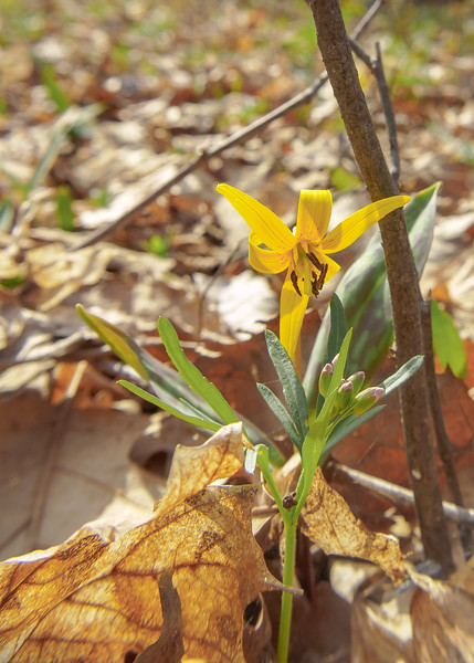 A Yellow-trout Lily (Erythronium americanum) at Potato Creek State Park, North Liberty, IN