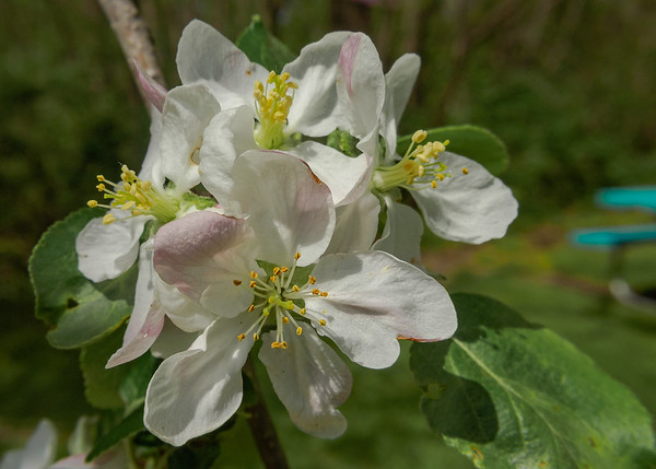Blooming Sweet Crabapple (Malus coronaria) at Ferrettie-Baugo Creek County Park, Osceola, IN