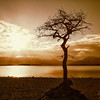 Milarochy Bay Tree Loch Lomond