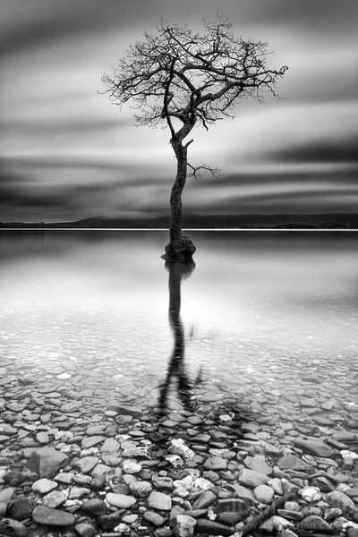 Loch Lomond tree Milarrochy bay scotland