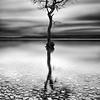Loch Lomond tree Milarrochy bay scotland