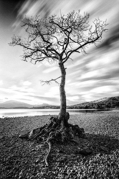 Millarochy Bay Tree