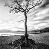 Millarochy Bay Tree