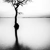 Milarrochy Bay tree