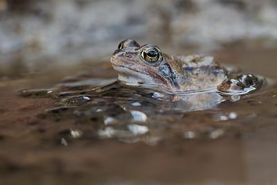 Żaba moczarowa, Rana arvalis, 002