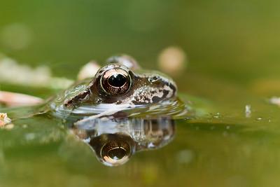 Żaba trawna, Rana temporaria 001