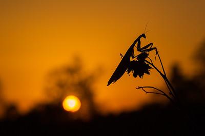 Modliszka zwyczajna, Mantis religiosa, 004
