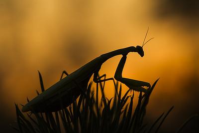 Modliszka zwyczajna, Mantis religiosa, 002