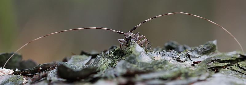 Tycz cieśla, Acanthocinus aedilis, 001
