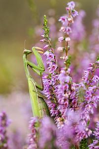 Modliszka zwyczajna, Mantis religiosa, 001