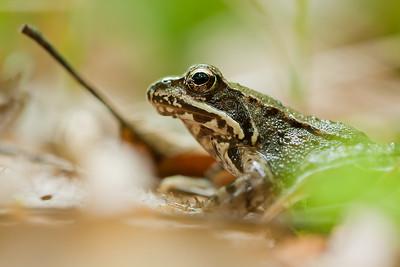 Żaba trawna, Rana temporaria 002