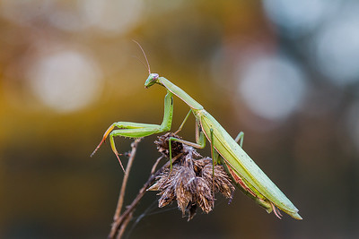 Modliszka zwyczajna, Mantis religiosa, 003