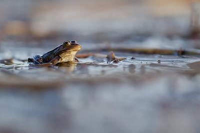 Żaba moczarowa, Rana arvalis, 001