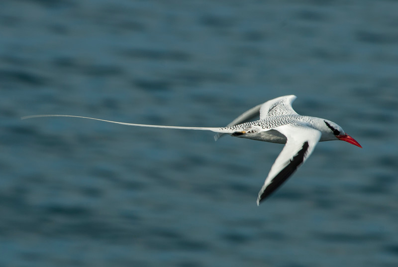 Red Billed Tropic bird