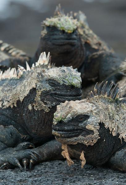 Marine Iguanas, Fernandina Island