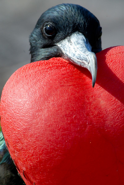 Magnificent Fregate Bird, male