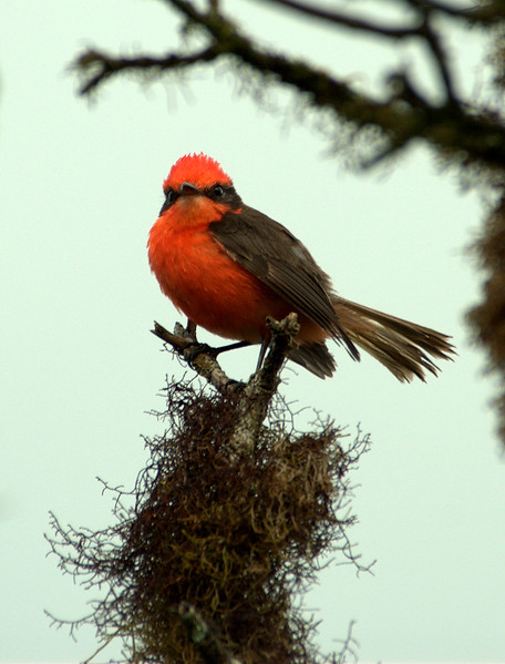 Vermillion Flycatcher, Santa Cruz Island