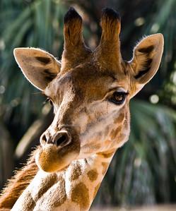 Giraffe (Girafa)