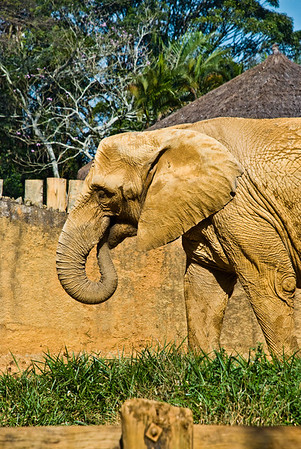 African Elephant (Elefante Africano)