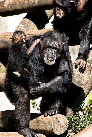 Chimpanzees(Chimpanzés)