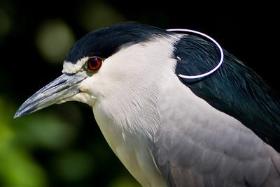 Black Crowned Night Heron (Socó-Dorminhoco / Savacu)