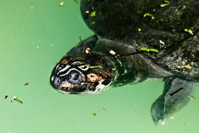 Arrau Turtle (Tartaruga da Amazônia)