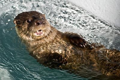 River Otter (Lontra)