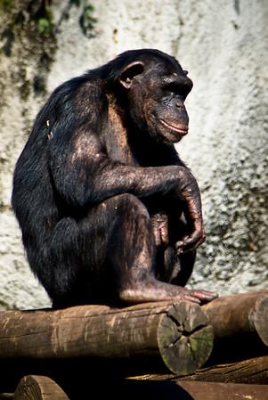 Chimpanzee(Chimpanzé)