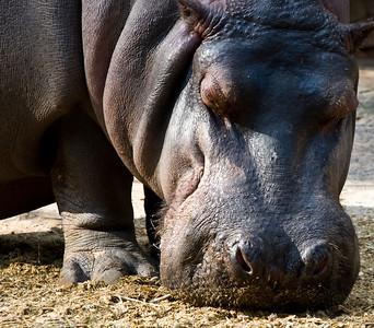 Hippopotamus (Hipopótamo)