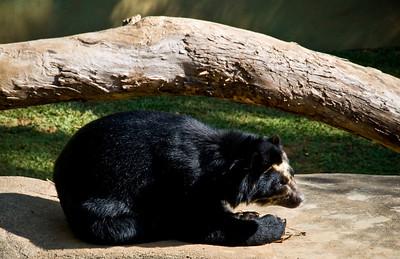 Spectacled Bear (Urso-de-óculos)