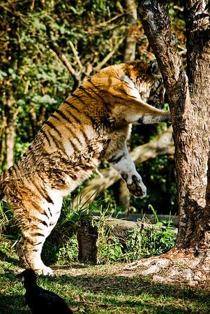 Siberian Tiger (Tigre Siberiano)