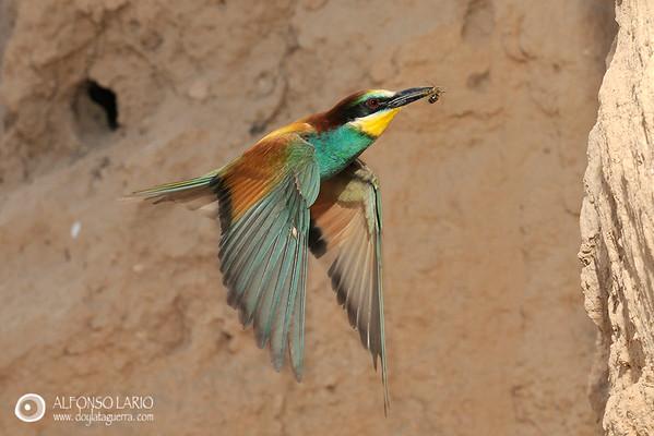 Abejaruco común (Merops apiaster). Alicante. España.
