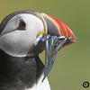 Frailecillo atlántico (Fratercula arctica). Islas Farne. U.K.