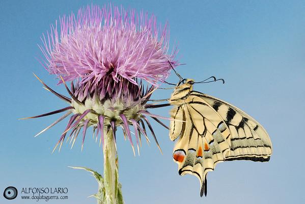 Macaón (Papilio macaon). Cala el Charco. Villajoiosa. España