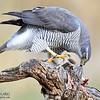 Azor común. Accipiter gentilis. España.