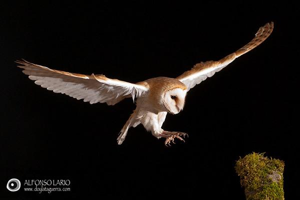 Lechuza común (Tyto alba). España