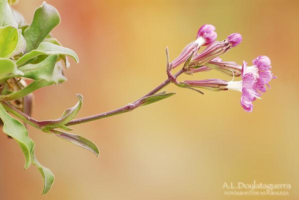 Silene de Ifac (Silene hifacensis ) Teulada. Alicante. España
