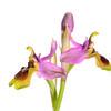 Ophrys tenthrendinifera. Javea. España