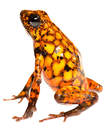 Oophaga sylvatica. Ecuador